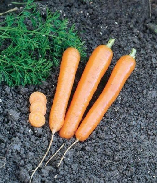 Какого ухода требует морковь анастасия f1?