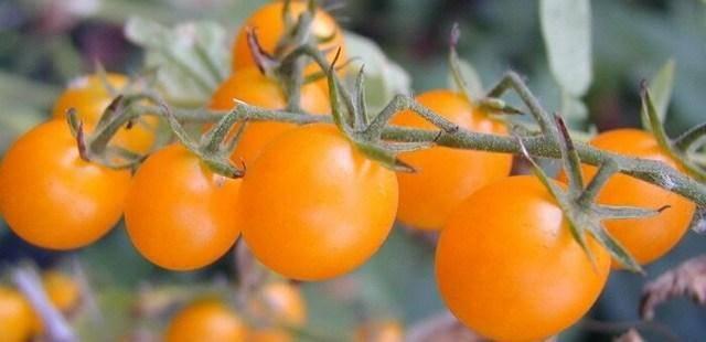 Томат любимый праздник: отзывы, фото, урожайность