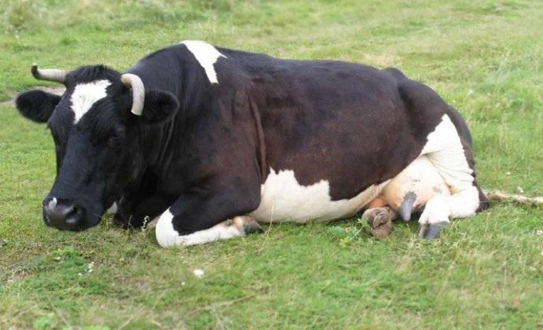Нарушения опорно-двигательного аппарата у коров