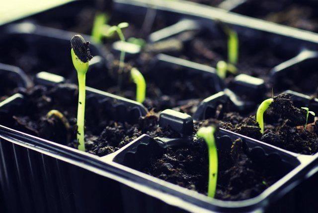 Оптимальный температурный режим для рассады томатов, при какой выращивать