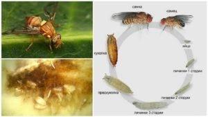 Дынная муха — википедия с видео // wiki 2