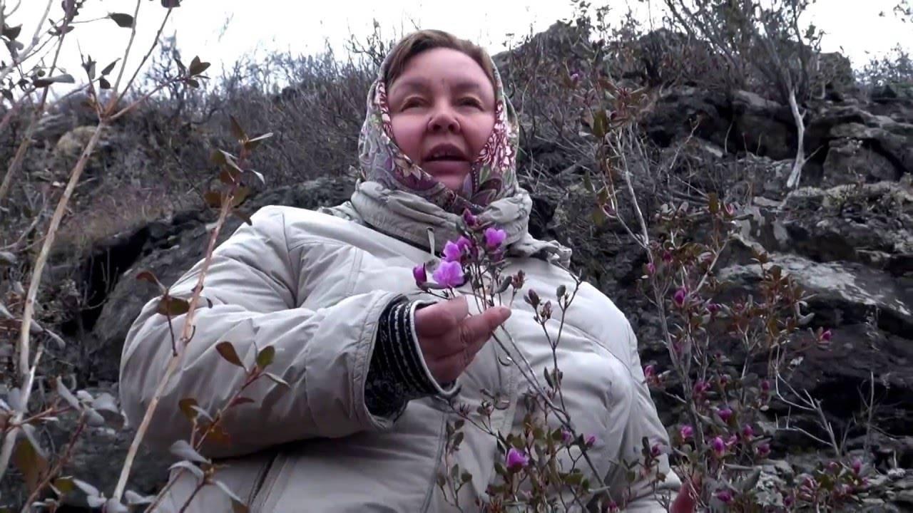 Кавказский рододендрон лечебные свойства. лечебные свойства рододендрона кавказского