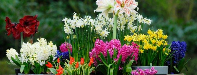 Весенние луковичные – фото, названия, советы по посадке и выращиванию