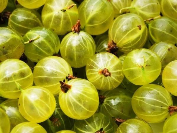 Крыжовник: полезные свойства и противопоказания,калорийность ягод, состав