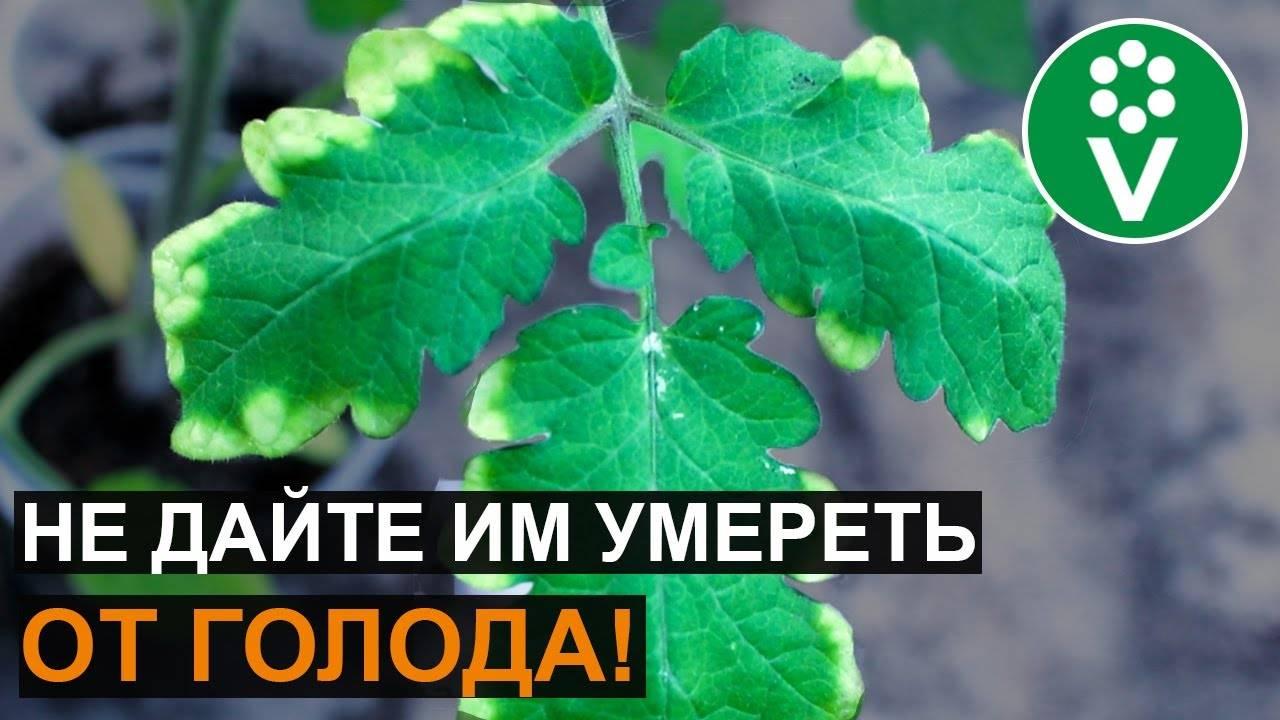 Сохнут листья у рассады помидоров — что делать