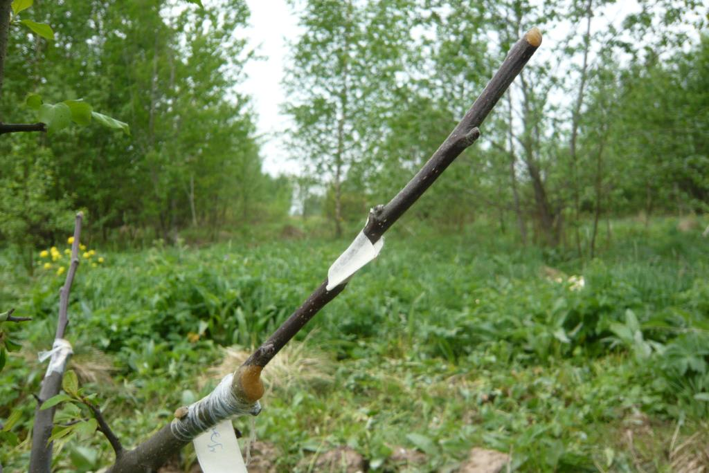 Прививка яблонь весной для начинающих