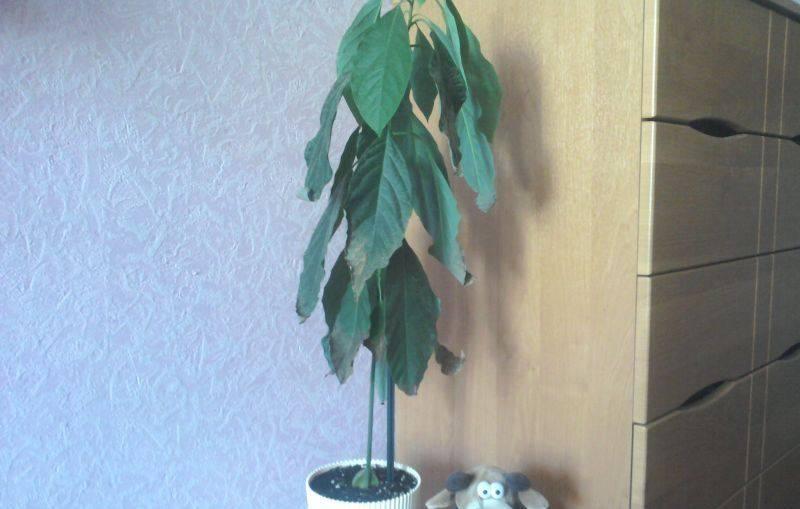 Почему у авокадо чернеют и сохнут листья?