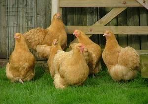 Яичные и мясо-яичные породы кур их описание и содержание