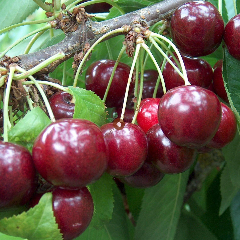 Настоящая сладость ранних плодов — сорт вишни десертная морозовой