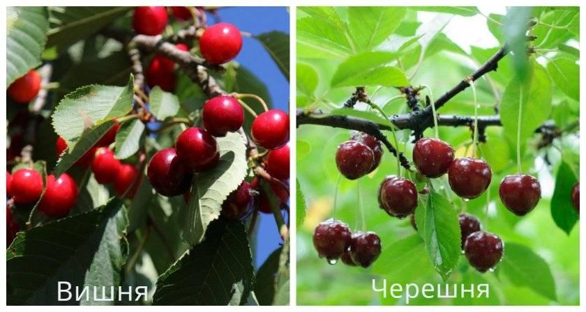 Дерево вишня: посадка и уход, фото, обрезка, прививка, описание сортов, болезни и вредители