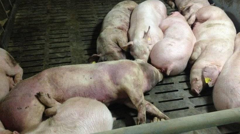 Африканская чума свиней и её опасность для человека