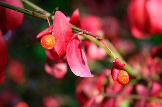 Бересклет крылатый: посадка в саду и правильный уход