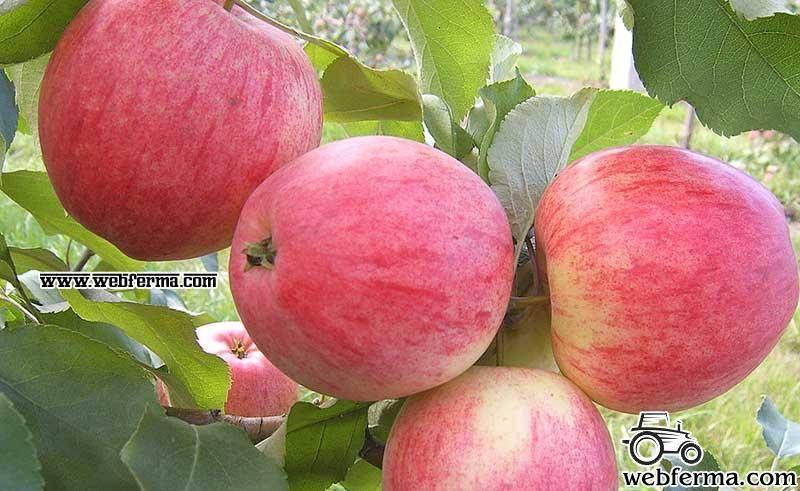Яблоня Китайка Бельфлер: описание, фото, посадка, сбор и отзывы