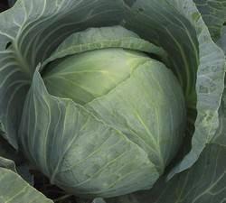 В помощь огороднику: выбираем лучший сорт поздней капусты
