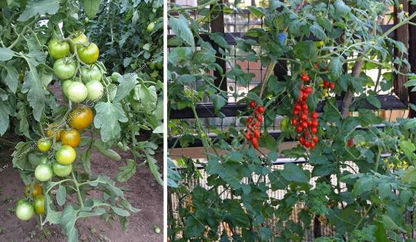 Большой урожай томатов в домашних условиях