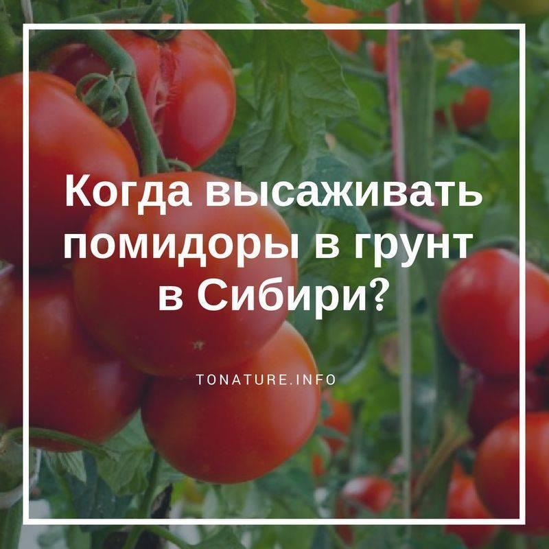 Как и когда высаживать рассаду помидоров в теплицу и открытый грунт
