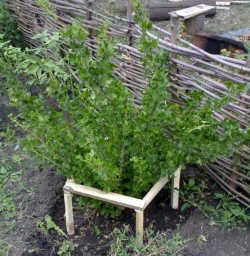 Как огородить кусты смородины своими руками