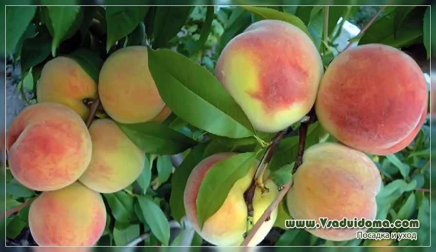 Характеристика и описание персика «редхейвен»