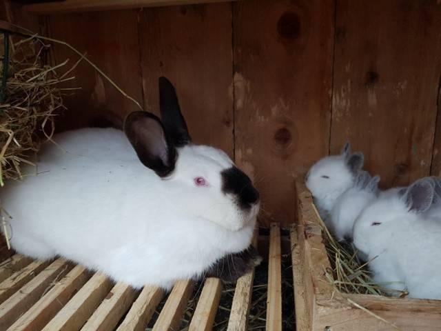 Калифорнийский кролик: характеристика породы, советы по содержанию и разведению