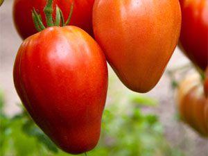 Сорт помидоров «кумир»: отзывы, описание, характеристика, урожайность, фото и видео