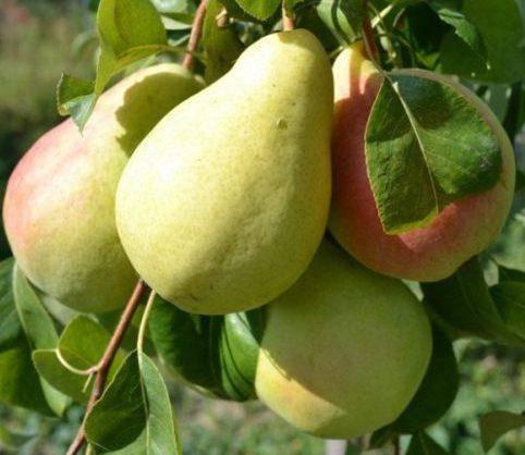 Груша «форель» (16 фото): калорийность и описание сорта, где растет, почему вкус как вата, отзывы
