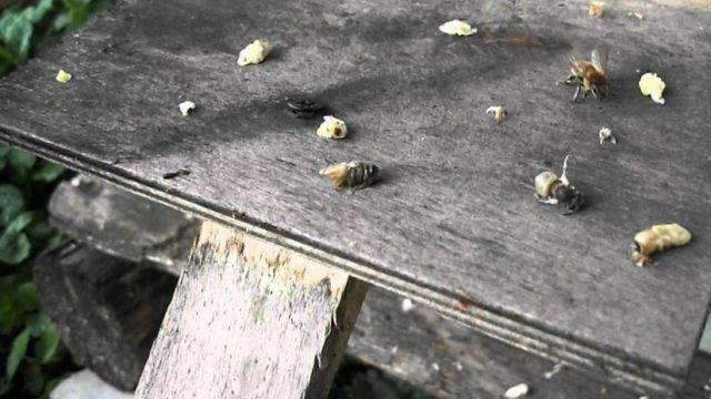 Симптомы, методы лечения и профилактика болезней пчел