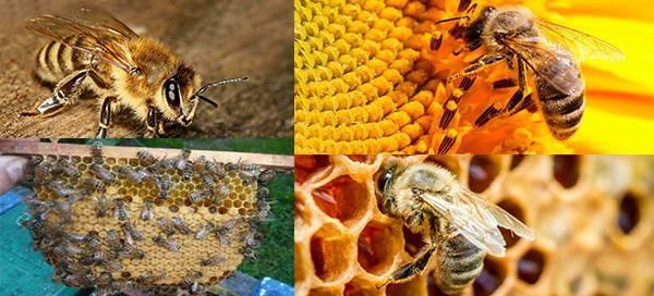 Описание и особенности пчел бакфаст