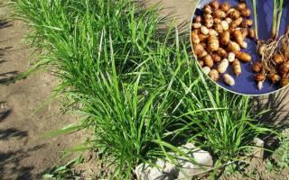 Чуфа (земляной миндаль) — особенности выращивания и ухода