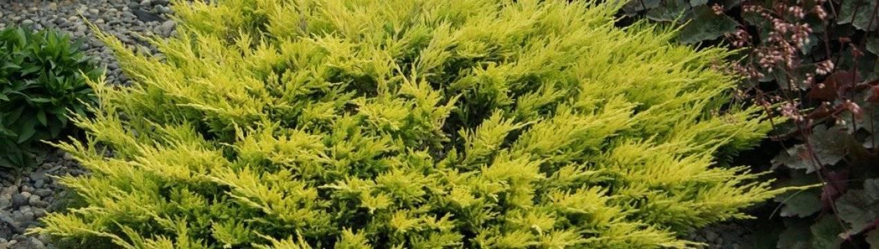 Можжевельник лайм глоу — описание горизонтального хвойника