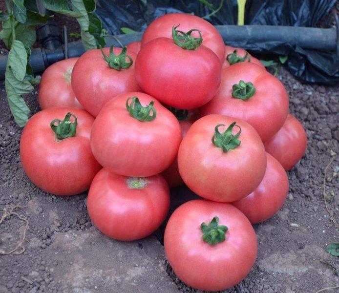 Сорт томата «розовый фламинго»: описание, характеристика, посев на рассаду, подкормка, урожайность, фото, видео и самые распространенные болезни томатов