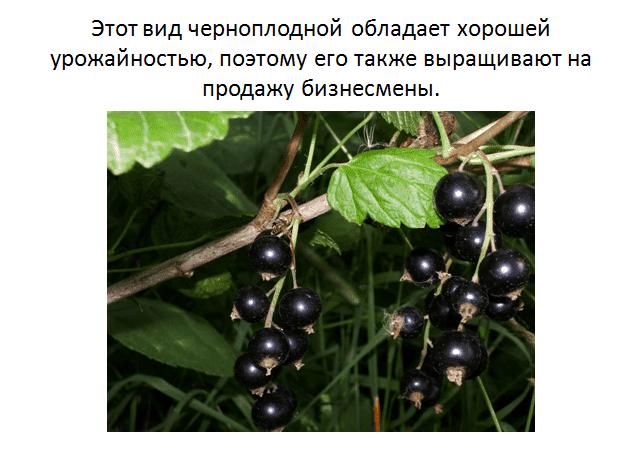 Смородина чёрная руслан — основные характеристики сорта