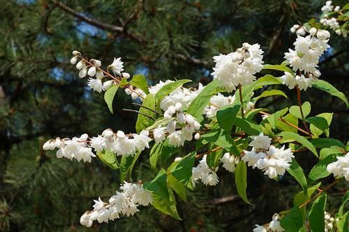 Обрезка дейции: весной, после цветения, осенью