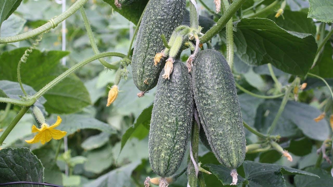 Описание сорта огурцов хрустишка f1, фото урожая и отзывы садоводов, советы по выращиванию
