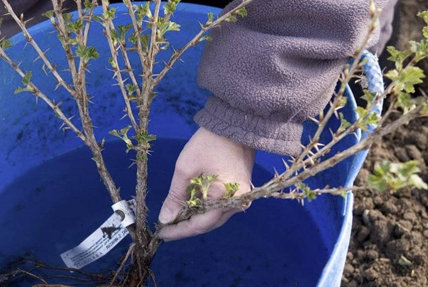 Крыжовник сорт олави: описание, фото, отзывы