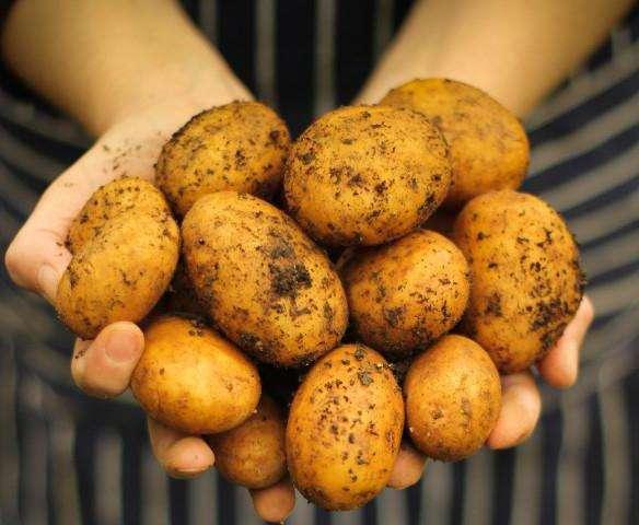 Картофель сифра — описание сорта, фото, отзывы, посадка и уход