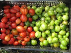 Как хранить зеленые помидоры, чтобы они покраснели дома