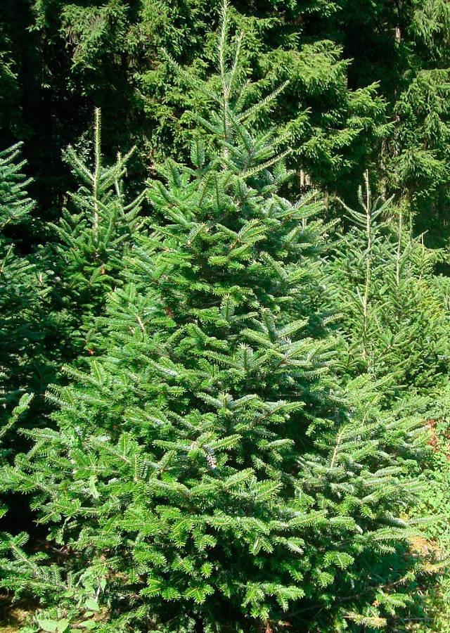 Пихта (81 фото): как выглядит дерево? описание шишек и листьев, размеров пихты. как ухаживать? выращивание и размножение