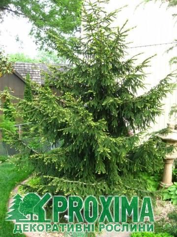 Ель «эдит» (17 фото): описание колючей ели edith. голубая ель в ландшафтном дизайне, посадка и уход, высота дерева и темпы роста