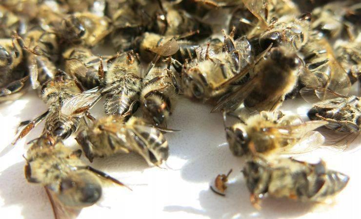 Особенности лечения пчелиным подмором