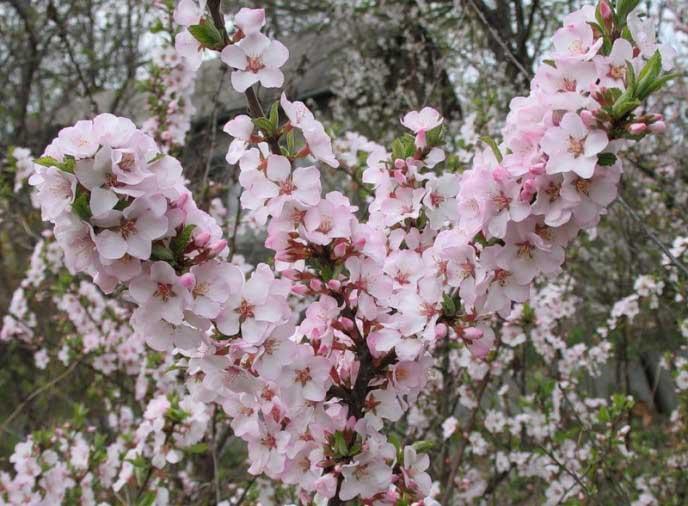 Дерево войлочная вишня (cerasus): сорта с фото, выращивание и уход
