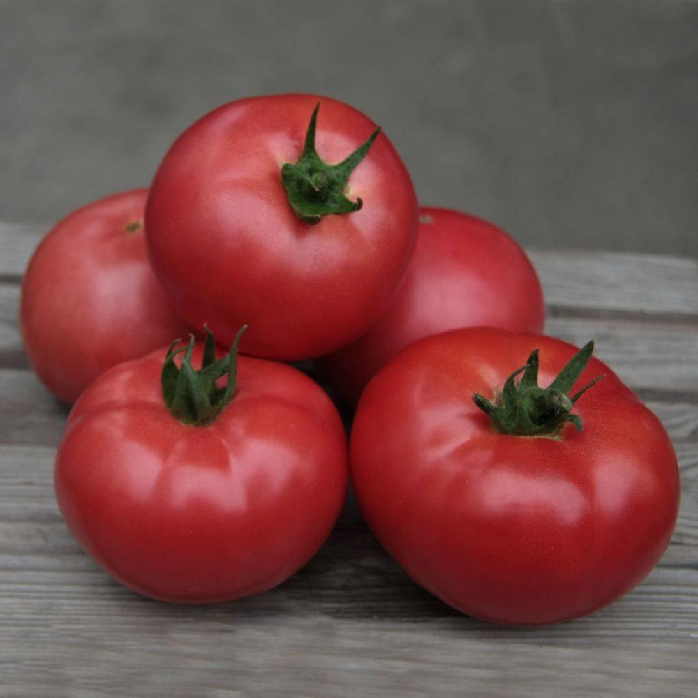 Сорт томата «мясистый сахаристый»: описание, характеристика, посев на рассаду, подкормка, урожайность, фото, видео и самые распространенные болезни томатов