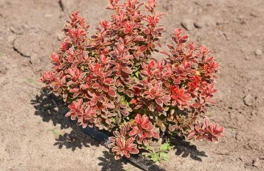 Карликовый барбарис (23 фото): низкорослые сорта, описание красных и желтых низких кустарников, посадка и уход
