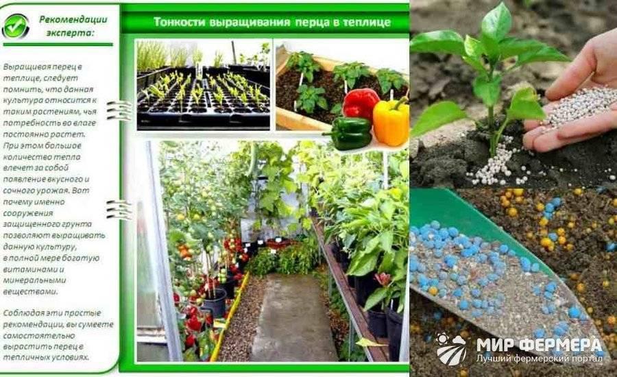 Как выращивать перцы в теплице из поликарбоната