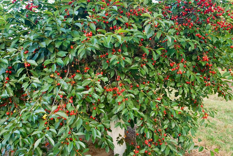 Вишня октава: описание сорта, фото, отзывы, опылители, особенности выращивания