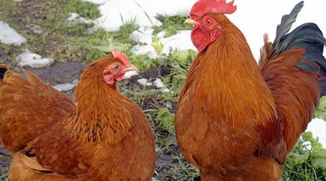 Кучинская юбилейная порода кур: описание, фото, отзывы, разведение