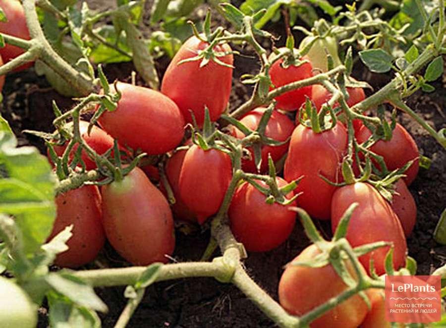 Особенности выращивания томатов сорта демидов