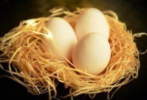 Яйца голубей: как вырастить яйцо голубя