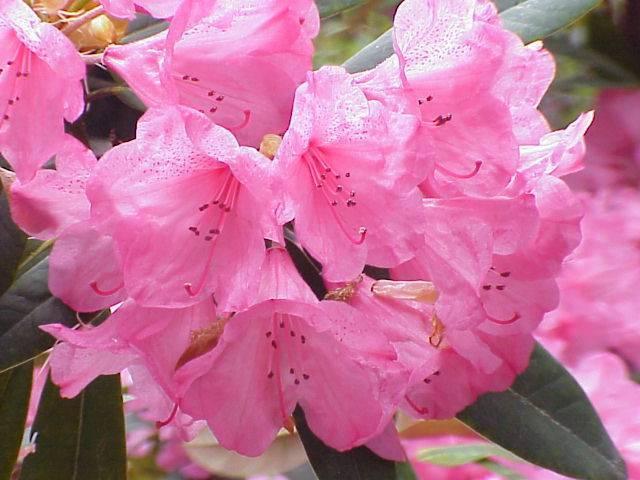 Цветок рододендрон (азалия) —  ядовитый или нет для человека и животных