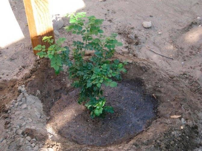 Почва для жимолости: требования, состав, как подготовить для посадки