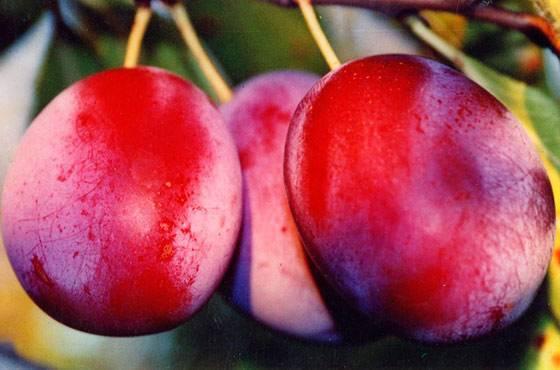 Самоплодные сорта сливы для Ленинградской области